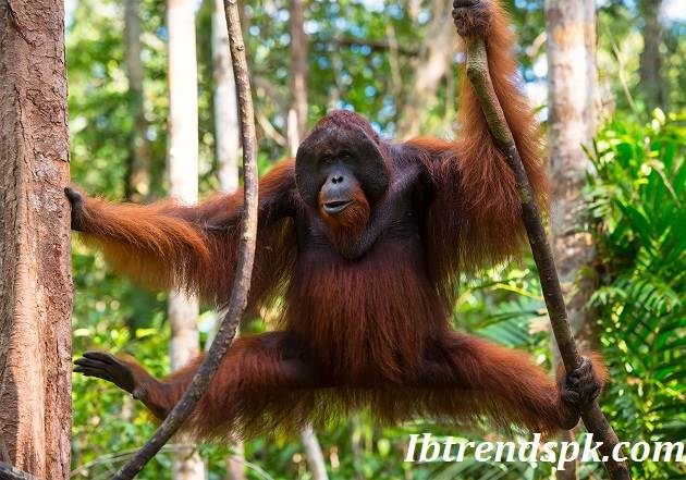 What is the color of an Orangutan